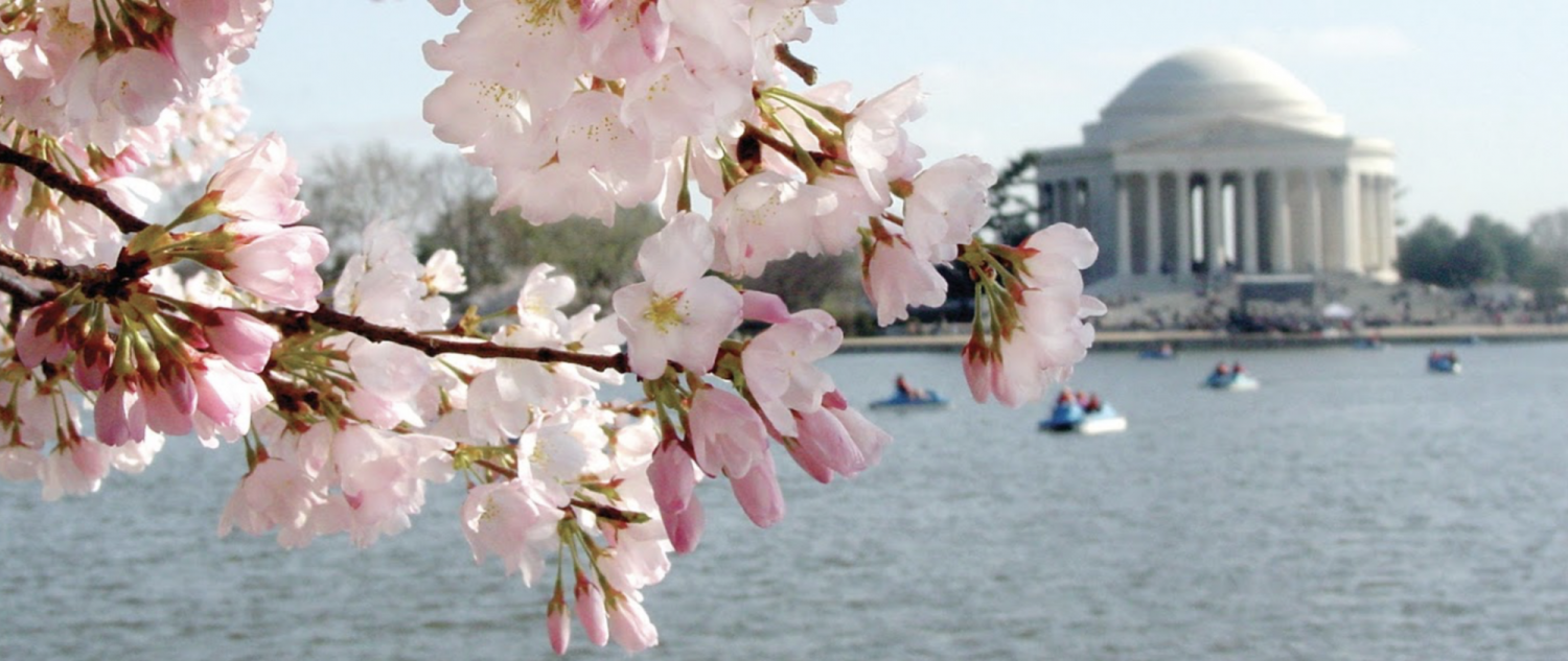 cherry tree in bloom with Jefferson Monument in background