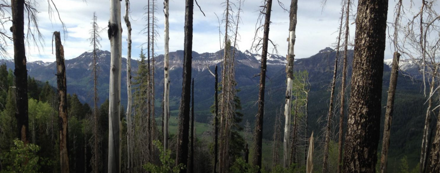 A forest in the San Juan range of the Rocky Mountains, with dead Engelmann spruce trees alongside live aspen trees.