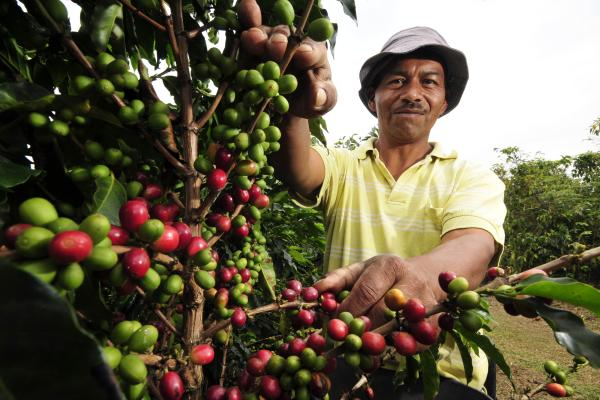 Man picking coffee beans off trees