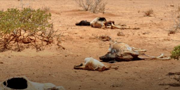 Dead animals in dry, desert-like terrain
