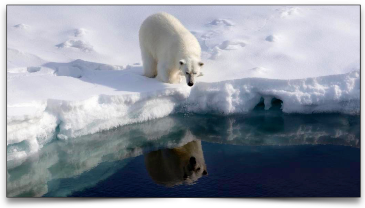 Polar bear looking into the water