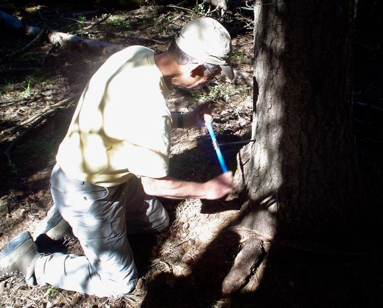 Man coring a tree in the forest