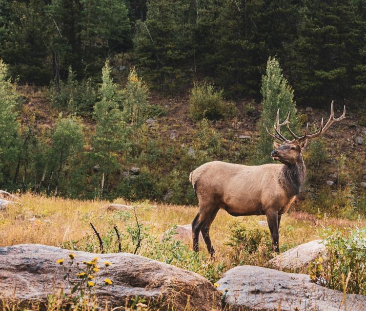 A male elk stands in a forest clearing