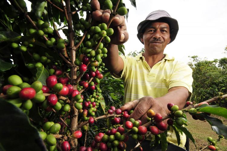 smiling man picking coffee beans off trees