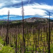 Burned Trees from the West Fork Complex Fire in 2013.