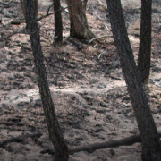 Scorched trees in forest