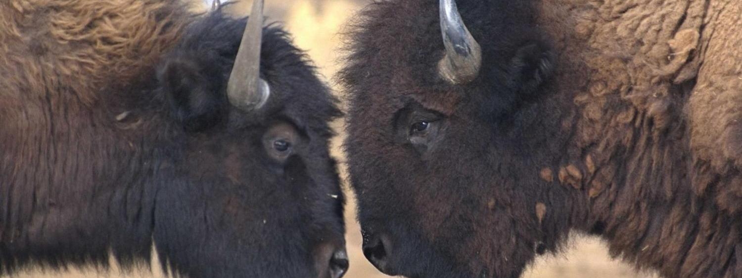 Two Buffalo staring at each other