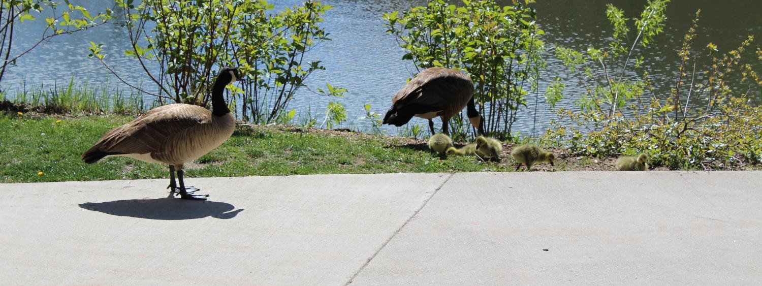 photo of geese and little goslings