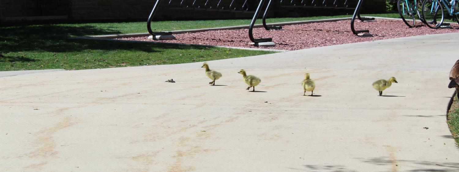 goslings all lined up in a row!