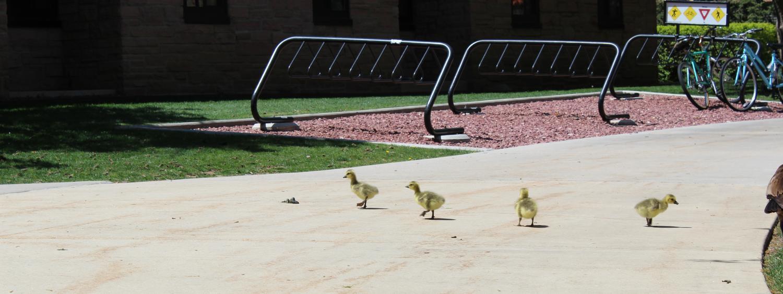 Goslings near Arnett Hall