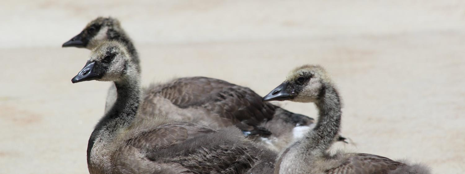 Photo of Goslings two months later.