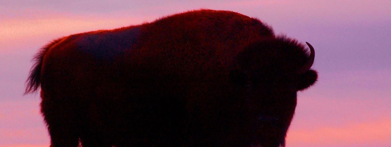 Buffalo in the sunrise