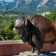 CU Boulder mascot