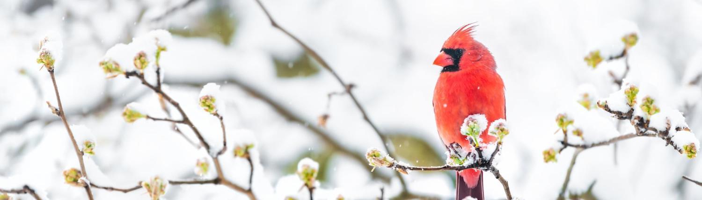 Red bird sitting on a snowy branch