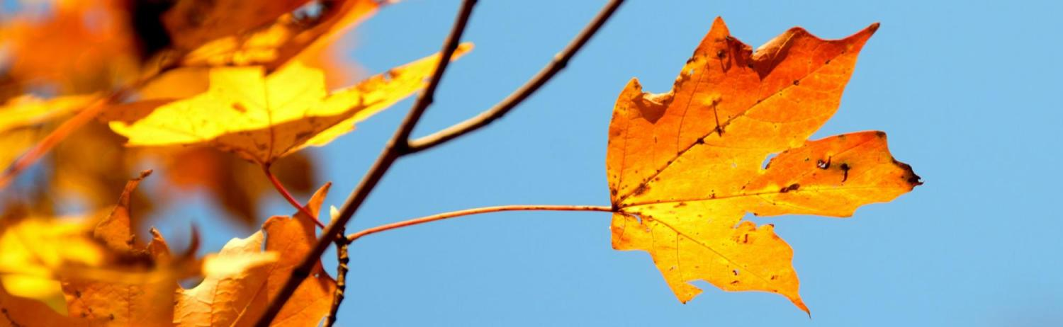 Fall leaves in front of bright blue sky