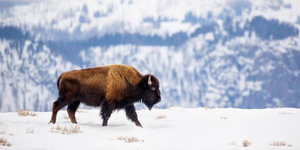 a buffalo walking through the snow