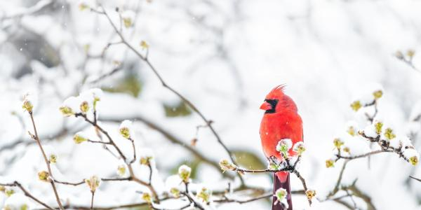 Red bird on a snowy tree