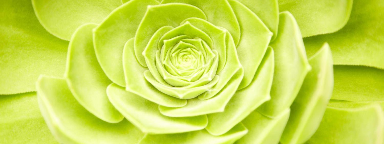 Succulent plant close-up