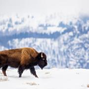 Photo of bison walking through snowy landscape