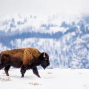 Buffalo walking across a snowy field.