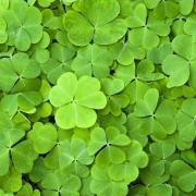 Bed of shamrocks