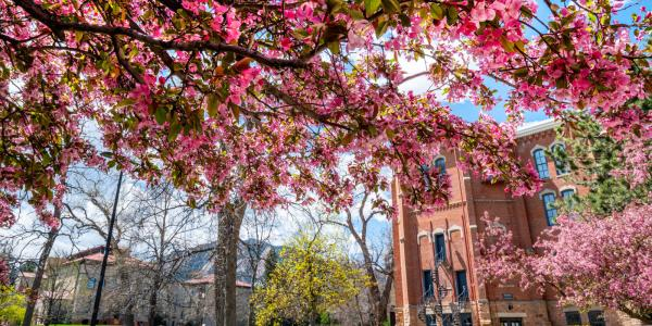 Pink flowers cover the trees near Old Main