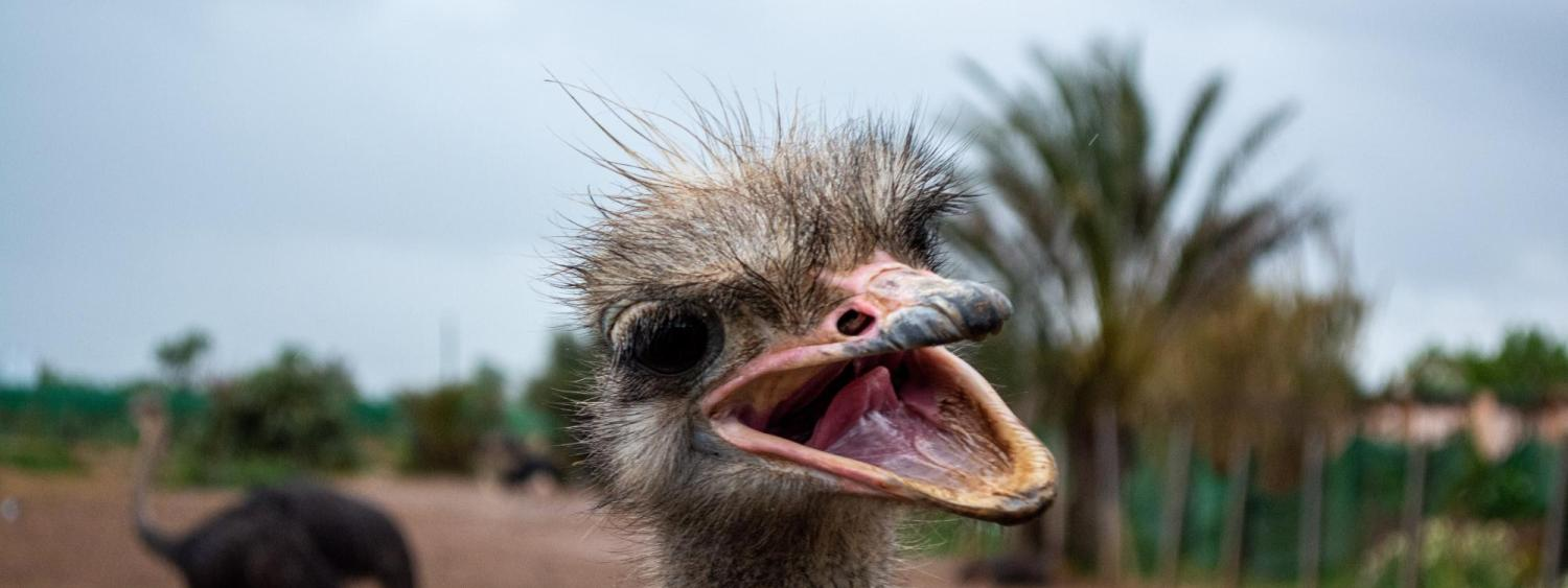 Laughing Ostrich