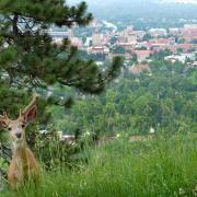 Deer with Boulder Campus in Background