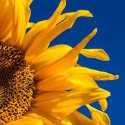 Sunflower Photo by Johan Nilsson on Unsplash