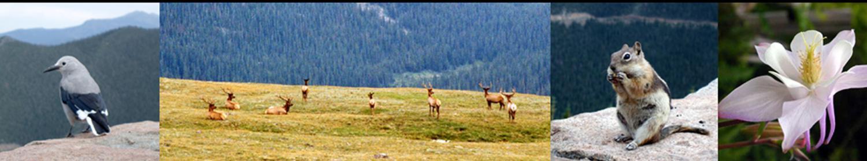 Rocky Mountain Wildlife: Birds, Elk, Squirrel, and Colorado Columbine