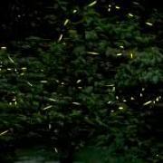 Swarm of fireflies