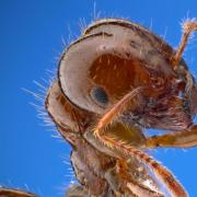Fire ant close up