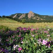 Image of the Flatirons behind a bed of flowers.