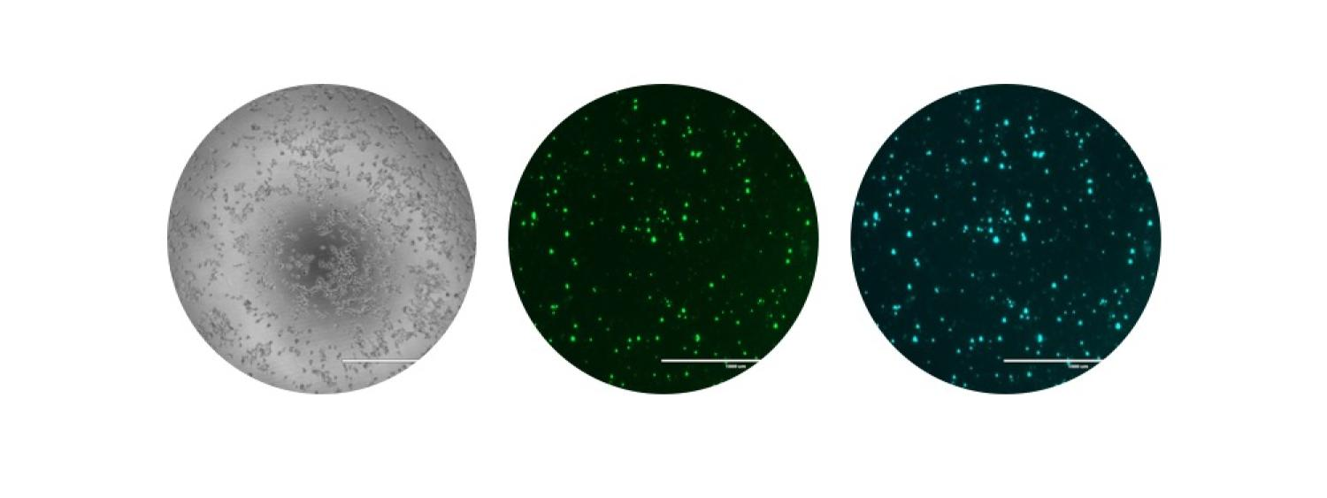 Cells transfected with RTL8C plasmid DNA