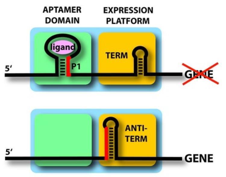 Gene expression path