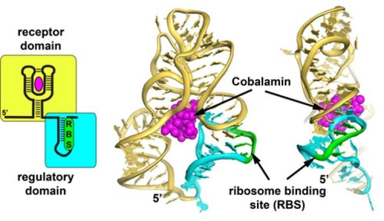 Ribosome binding