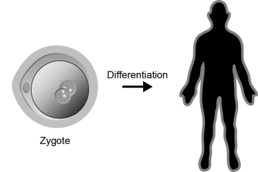 Zygote differentation to complete human.