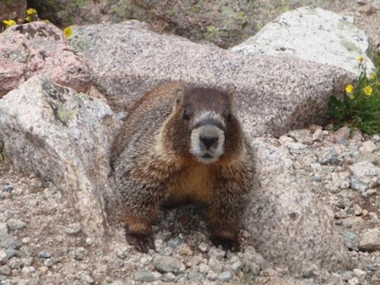 Marmot on gravel