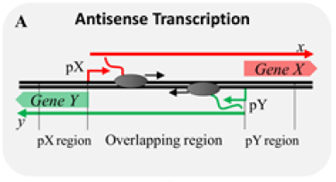 Antisense Transcription