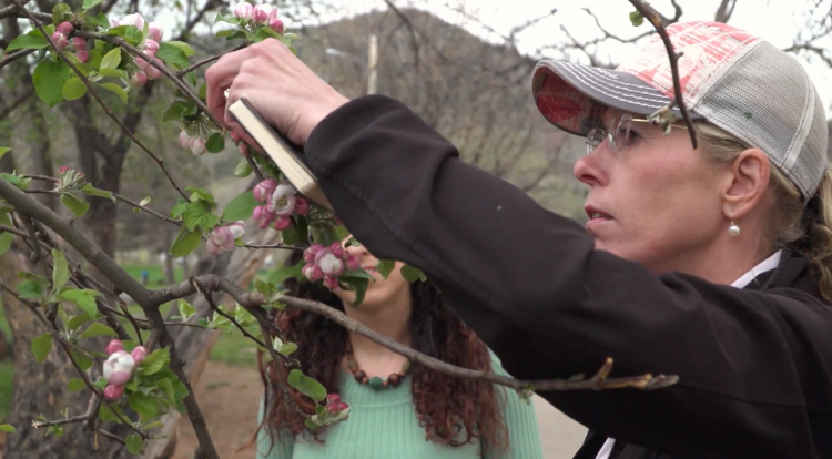 Katie Suding measuring an apple tree