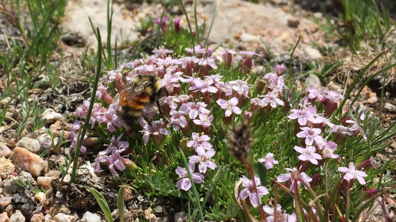 silene w pollinator