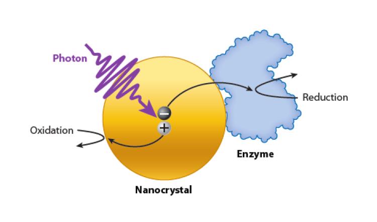 NC-enzyme figure