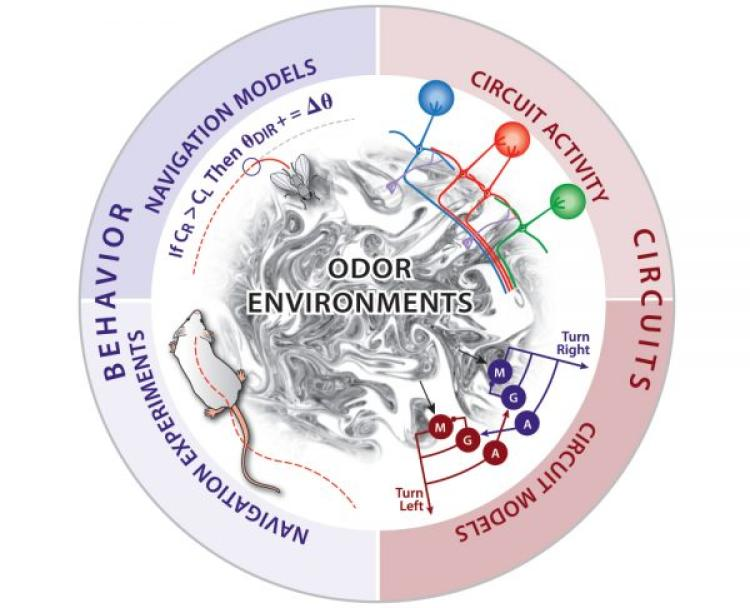 Circular process graphic of odor plumes as navigational cues