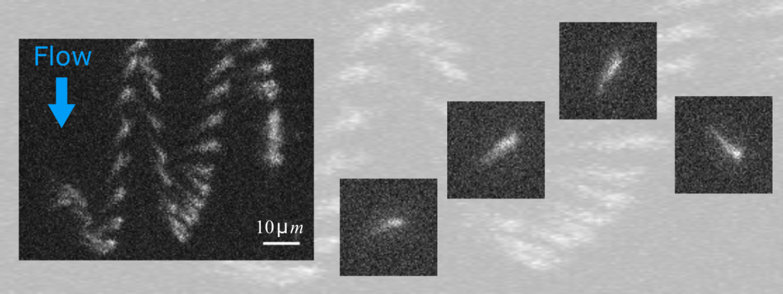 Stroboscopic image of a bacterium in oscillatory rheotaxis