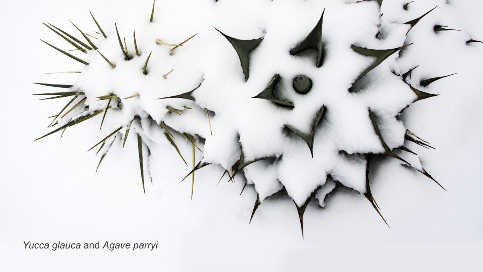 Agave in snow