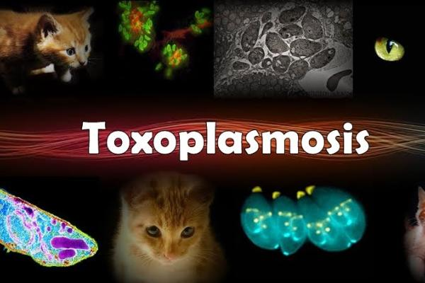 Toxoplasmosis, Cats, Zoonosis, Johnson Lab