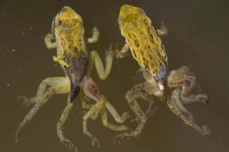 Ribeiroia ondatrae, pacific chorus frog, pacific tree frog, Pseudacris regilla, malformation