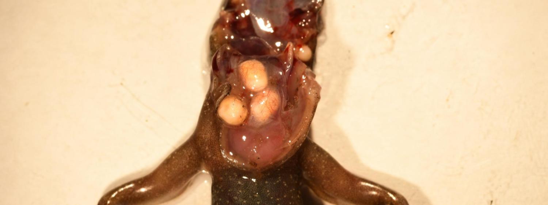 Clinostomatum, Dana Calhoun, Research, Johnson Lab