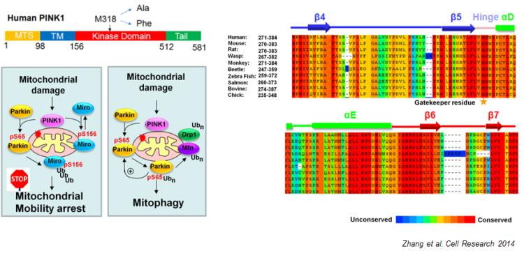 Chemical biology of the PINK1 Kinase