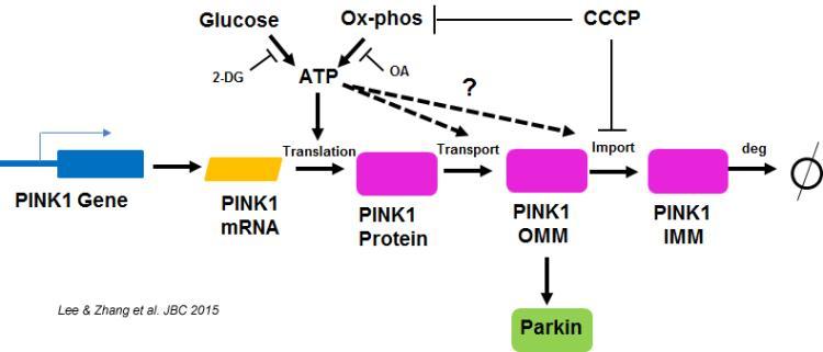 Bioenergetics and mitochondrial damage responses